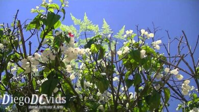 Photo of Manutenzione dell'impianto Clerodendrum thomsoniae o Clerodendron africano