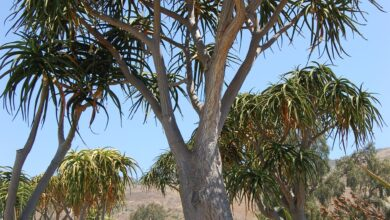 Photo of Manutenzione di Aloe barberae o Aloe tree