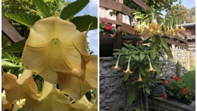 Photo of Manutenzione di Brugmansia arborea o Tromba