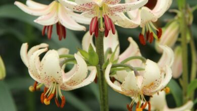 Photo of Martagon Lily
