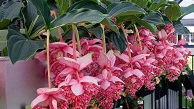 Photo of Medinilla magnifique