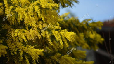 Photo of Mimosa invernale