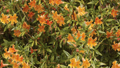 Photo of Mimulus glutinus