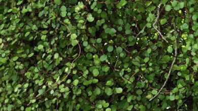 Photo of Muehlenbeckia complexa Muehlenbeckie