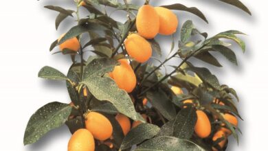 Photo of Nagami Kumquat, Kumquat con frutti ovali