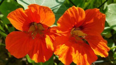 Photo of Nasturzi in crescita: la guida completa alla coltivazione, alla coltivazione e alla raccolta dei nasturzi
