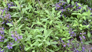 Photo of Nemoral Salvia Selvatica Salvia