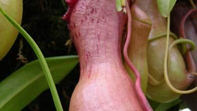 Photo of Nepenthes ventricosa