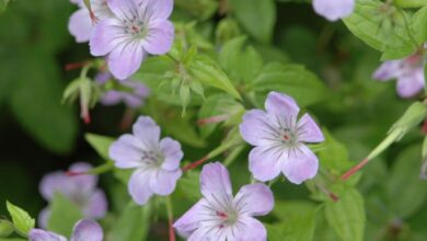Photo of Nodosa Cranesbill Nodosa Cranesbill