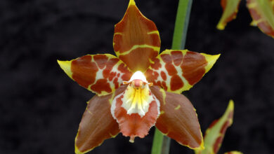 Photo of Odontoglossum spectatissimum