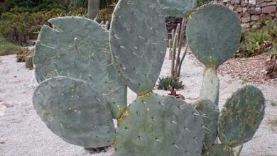 Photo of Opuntia robusta o Nopal camueso