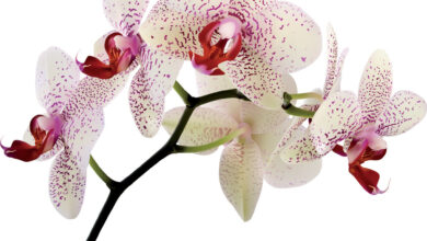 Photo of Orchidee