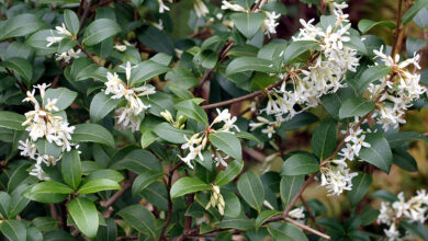 Photo of Osmanto x burkwoodii Burkwood Osmanthus