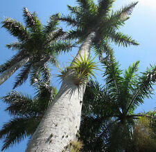 Photo of Palma reale