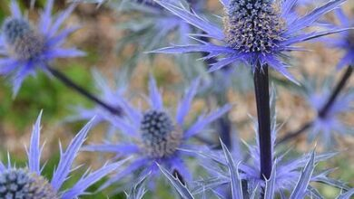 Photo of Panicaut Big Blue, Big Blue Thistle