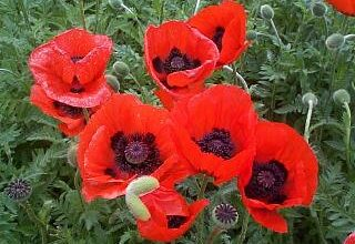 Photo of Papaver Papavero orientale, Papavero orientale