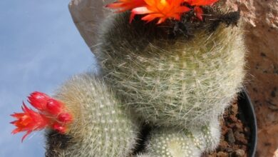 Photo of parodia haselbergii
