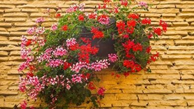 Photo of Pelargonio x Ederaefolio Geranio Ederaefolio, Geranio Balcone