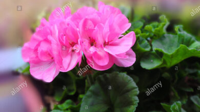 Photo of Pelargonio x hortorum Gruppo zonale geranio, gruppo zonale pelargonio