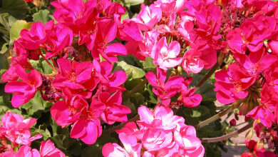Photo of Pelargonium del fiorista, Pelargonium reale, Geranio a fiore grande