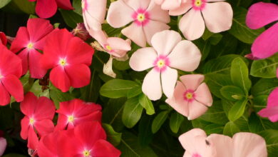 Photo of Pervinca del Madagascar