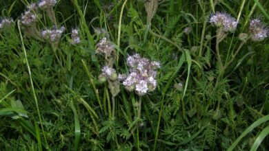 Photo of Phacelia a foglia corta