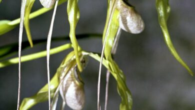 Photo of Phragmipedium