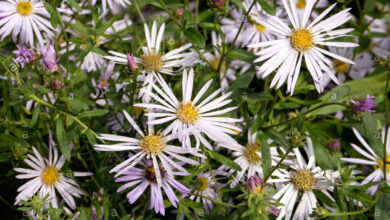 Photo of Pirenei Aster Lutetia