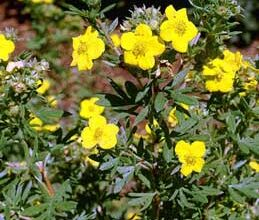 Photo of Potentilla arbustiva