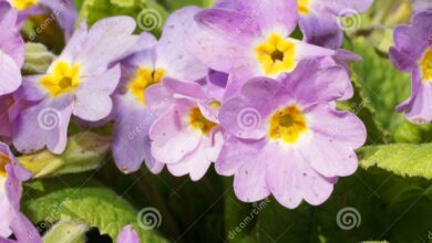 Photo of Primula caucasica