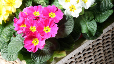 Photo of Primula da giardino