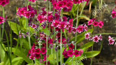 Photo of Primula del candelabro