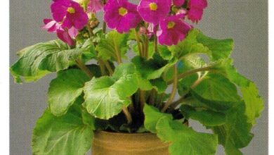 Photo of Primula obconia