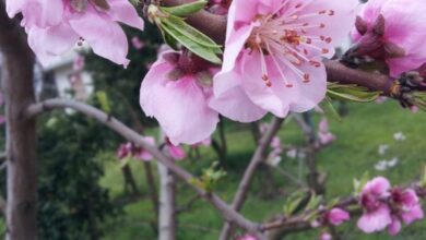 Photo of Prunus triloba mandorla cinese