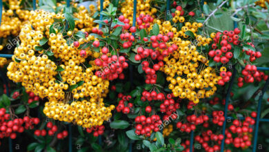 Photo of Pyracantha Cespuglio ardente