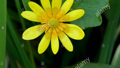 Photo of Ranuncolo ficaria Buttercup, erba emorroidale