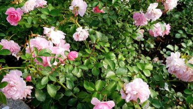 Photo of Rosa chinensis Rosa china