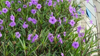 Photo of Ruellia Brittonian Petunia mexicana, Ruellie de Britton