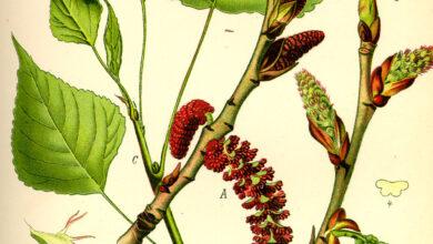 Photo of Salicaceae
