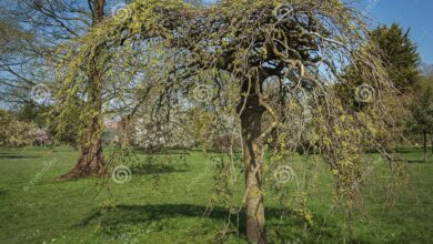 Photo of Salix caprea Kilmarnock Salice piangente