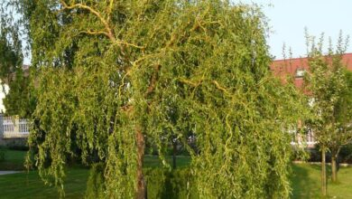 Photo of Salix matsudana Tortuosa Salice di Pechino