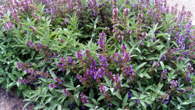 Photo of Salvia