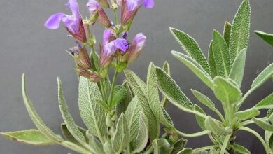 Photo of Salvia da prato, salvia comune