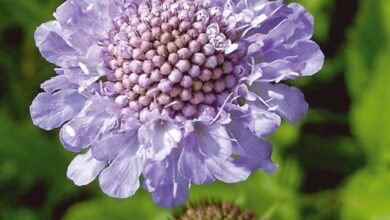 Photo of Scabious