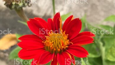 Photo of Scopri la bellezza dei fiori di Tithonia rotundifolia