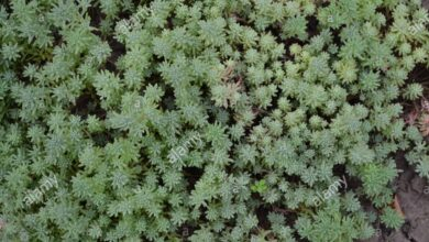 Photo of Sedum hispanicum Abete spagnolo