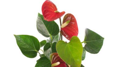 Photo of Sette piante che fioriranno nelle parti più buie della vostra casa…