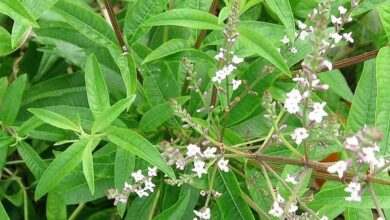 Photo of Soins de la plante Aloysia citriodora, Hierba luisa ou Cedron