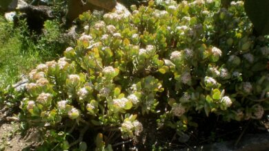 Photo of Soins de la plante Crassula arborescens o Crassula arborescente