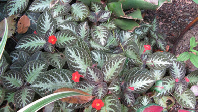 Photo of Soins de la plante Episcia cupreata o Cirtodeira